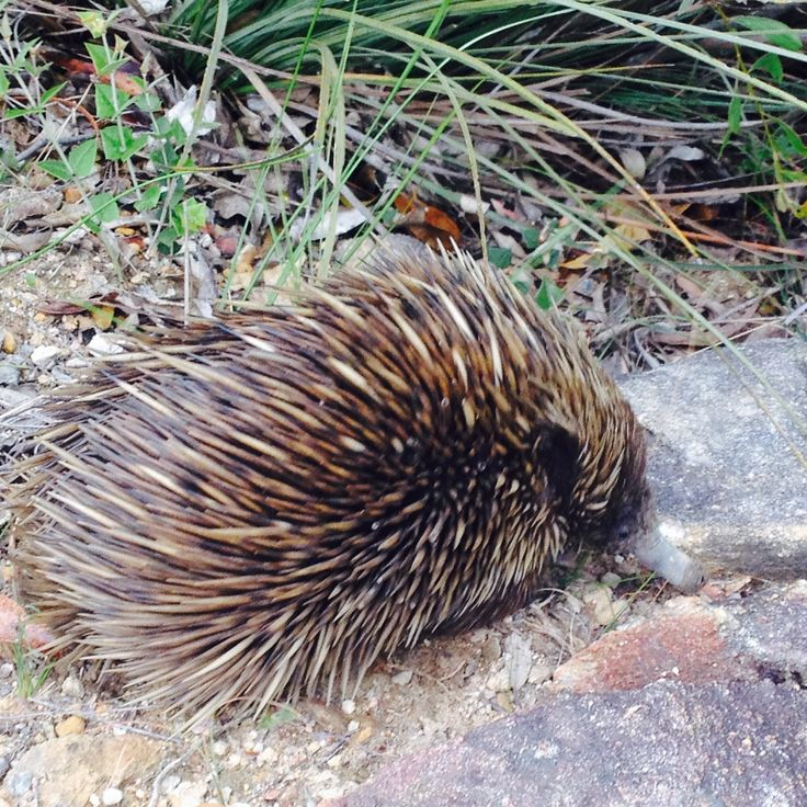 an adorable echidna who lives in the bush at Mount Lofty Adelaide Hills South Australia • I saw him this week on Saturday 9 Nov 2013, date of photo • riawati • my mt lofty walk pics 4km
