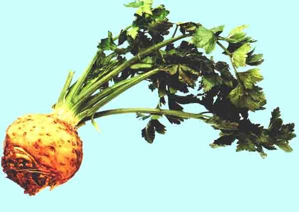 Celery - Kereviz