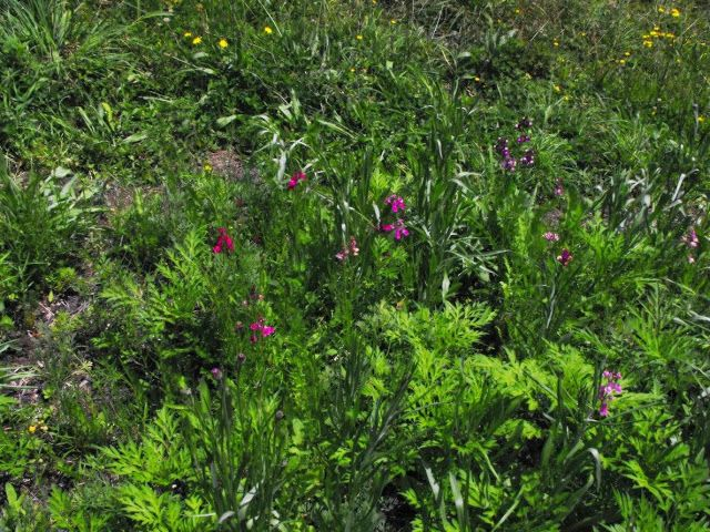 The beginnings of a wildflower meadow