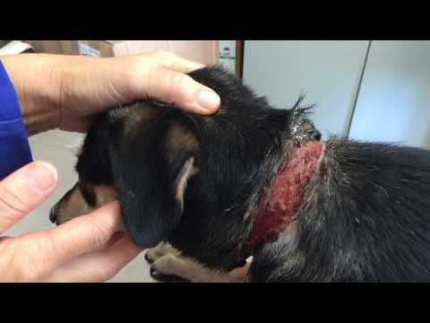 Click to Help | Sweety, a Royal Bourbon, gentle dog found wandering w/a very nasty neck wound caused by a rope. Immediate care was given. Your clicks will help pay for the vet costs incurred. (Google Translated from French to English) | You may click up to five times for each animal once a day.