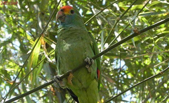Papagaio-chauá ganha projeto de conservação