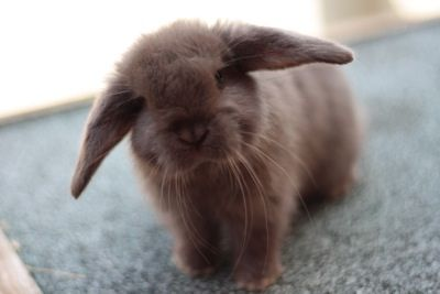 how to house train a mini lop rabbit