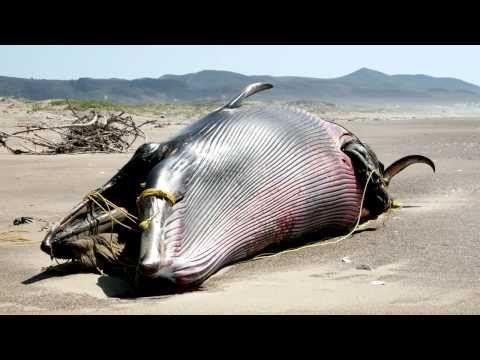 Oregon's Exploding Whale - 1970 KATU (original report) - YouTube
