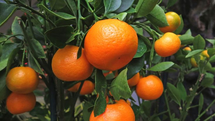 Download Nature Tangerines Tree Leaves Fruit 2k 4k Wallpaper High Quality HD In 2K 4K
