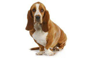 Familia Basset Hound: Cães da raça basset hound têm facilidade para ganh...