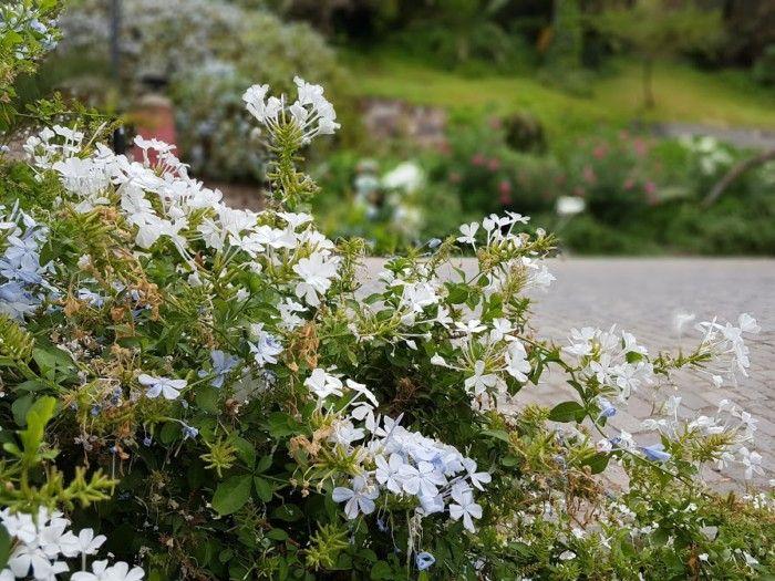 Las 25 mejores ideas sobre enredaderas con flores en - Arbusto pequeno con flores ...