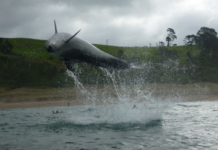 kayak surfing with dolphins..right place right time..Hot water beach NZ