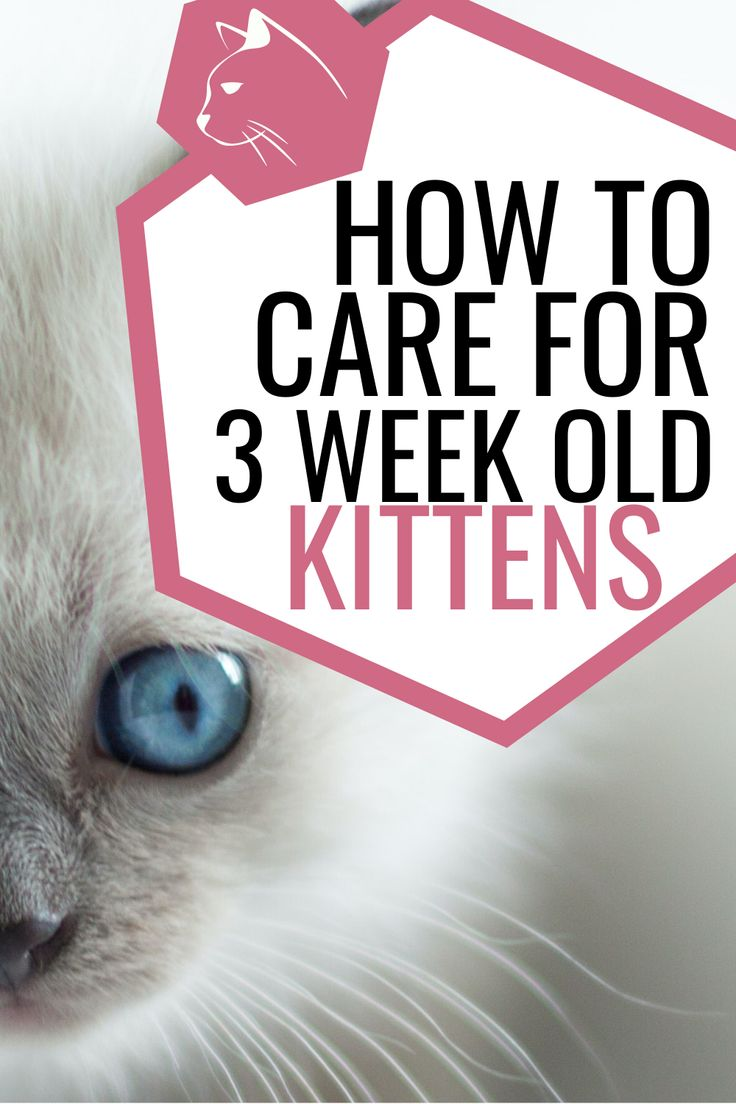 The Simple Guide To Caring About Three Week Old Kittens Live Long And Pawspurr In 2020 6 Week Old Kitten Kitten Care Newborn Kittens