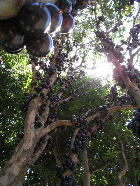 Jabuticaba, a tree that fruits from the trunk, native to South America (especially Brazil). Fruit used for eating plain, jellies, juicing, fermenting, and the skins have some medicinal uses.: Nature, Food, Fruits, Trunks, Fruit Trees