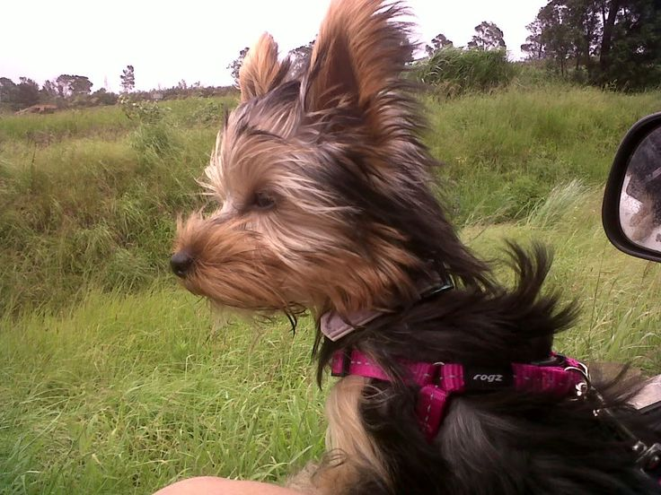 My yorkie riding the wind!