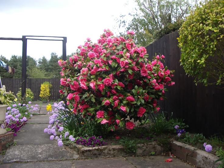 camelia bush and spring flowers