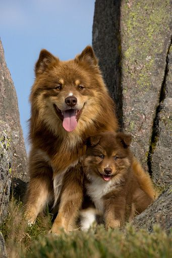 Finnish Lapphund Mother & Puppy