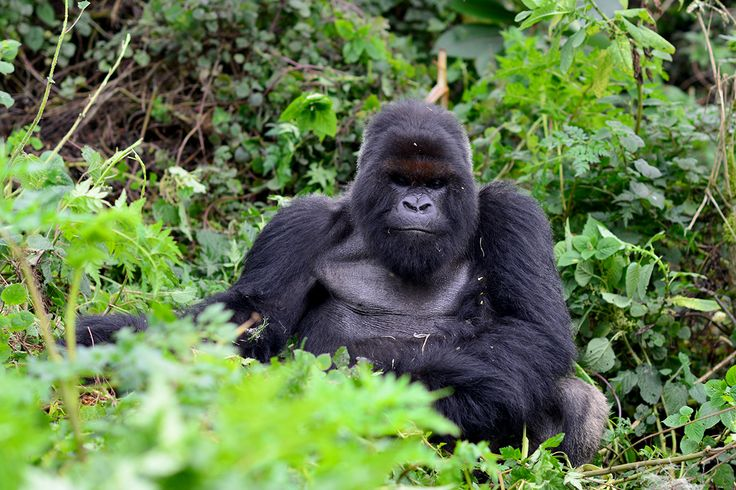 "THE LAST OF DIAN FOSSEY'S SILVERBACKS GONE : He was named ""Cantsbee"" by Dian Fossey upon his birth in 1978. Since then, mountain gorilla Cantsbee went on to create a historic legacy, leading the largest group of gorillas ever observed, remaining dominant for the longest reign ever recorded, siring the most offspring, and passing the statistical life expectancy for mountain gorillas. Cantsbee is now presumed dead. Read more…."
