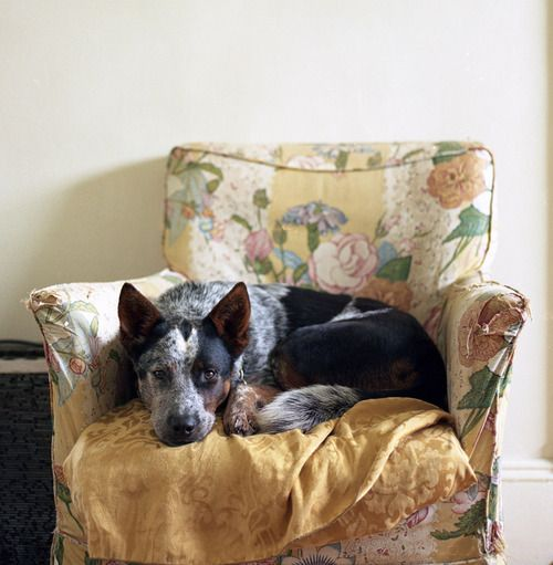 Love cattle dogs