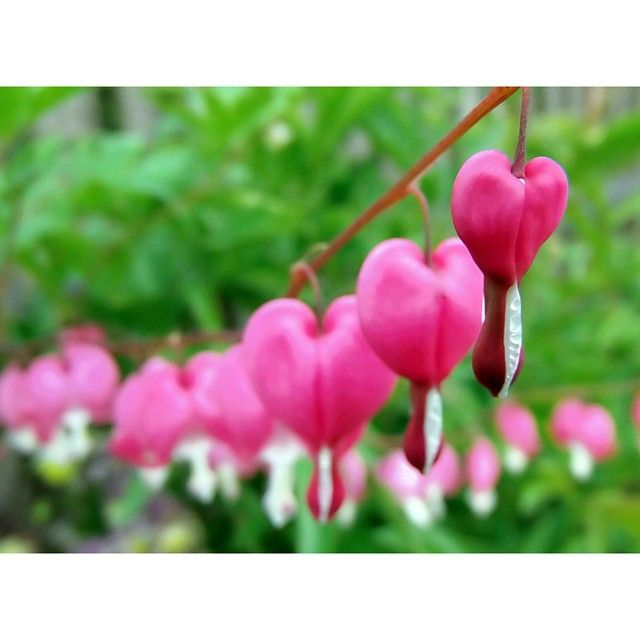 #nature#naturelovers #green#pink #heart #beautiful #flowers #garden #photoshoot #love#instagood#instaflower#Poland#macro
