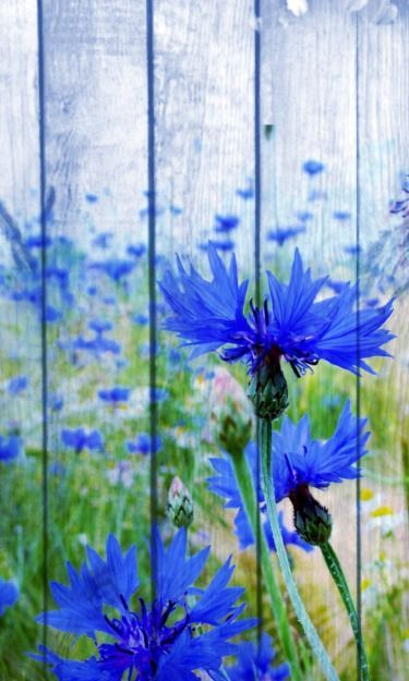 WOW! If I had my fence painted like this, I wouldn't have to worry about growing blue flowered plants! Now that's see....who do I know that could paint such beauty for me?