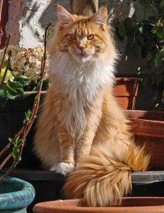 Il gatto #MaineCoon? Non prenderlo, è terribile! Questo è il titolo dell'articolo di #amicomainecoon scelto per fare un po' più di informazione corretta verso questa razza felina così gigante quanto buona e socievole. Leggi l'articolo: http://www.amicomainecoon.it/il-gatto-maine-coon-non-prenderlo-e-terribile/