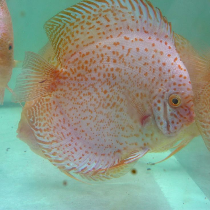 20 best ideas about discus fish for sale on pinterest for Discus fish for sale cheap