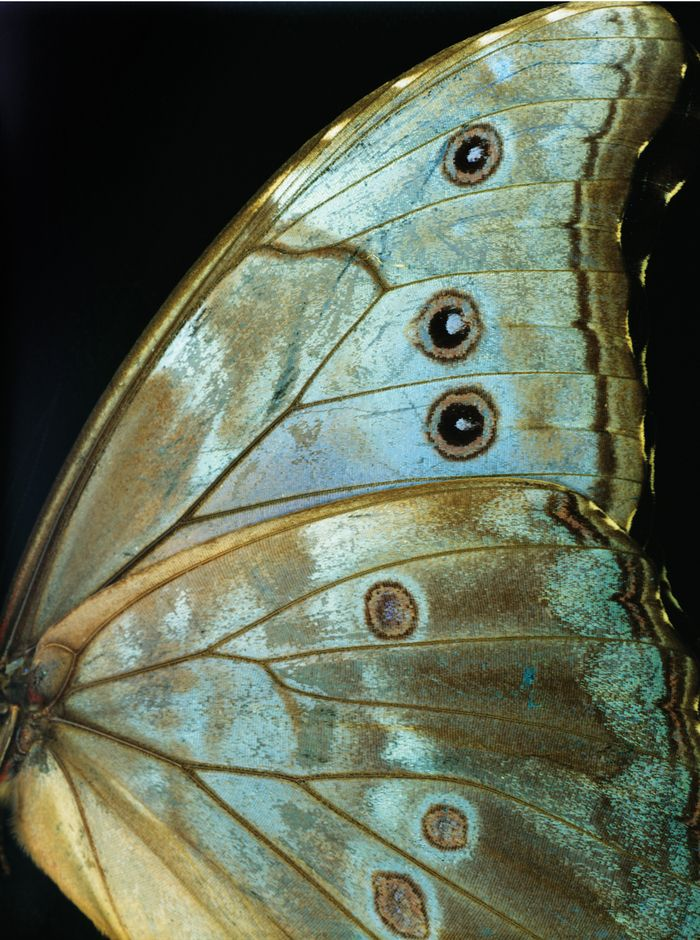 ~ butterfly wing.  Close-up shot with those great blues and browns again. #aqua #butterfly
