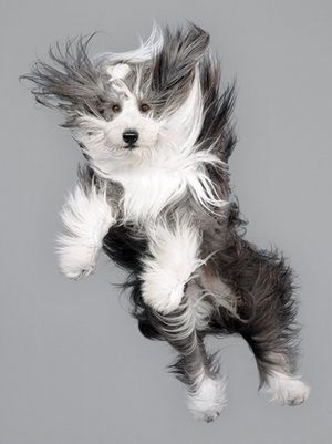 A bearded collie flies through the air