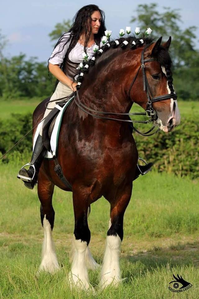 Gorgeous Shire Stallion