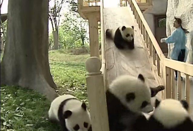 とっても楽しい♪滑り台で遊ぶパンダがかわいすぎる(*´Д`) - ペット日和