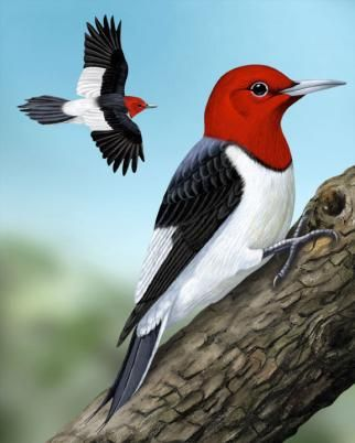 Red-headed Woodpecker - Whatbird.com  This bird was in my backyard yesterday and I had to find out what species it was.  I had renamed it a red-headed penguin.  Glad to know the proper name!