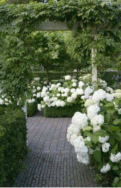 annabelle hydrangea supported by boxwood hedges