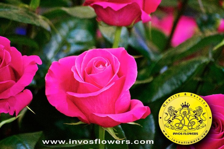 #colombia #flowers #colombianflowers #proflora #proflora2015 # #roses #rose #bestflowers #ecuadorianflowers #kenyanflowers #invosflowers