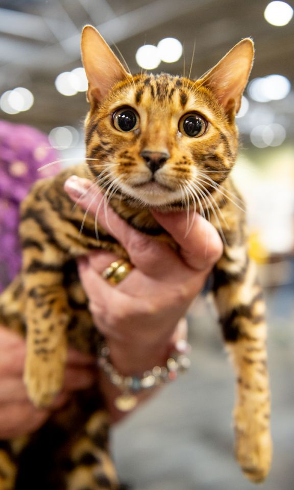 The Supreme Cat Show Toyger Cat Cat In Heat Cats