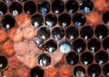 Brushy Mountain Bee Farm - Small Hive Beetle
