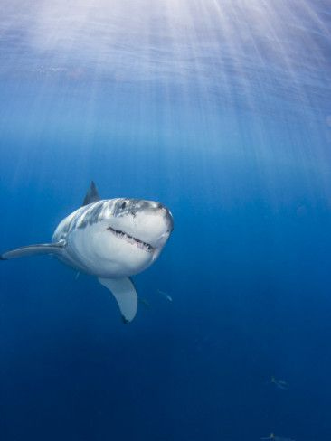 Great White Shark (Carcharodon Carcharias), Guadalupe Island, Mexico  by David Fleetham.