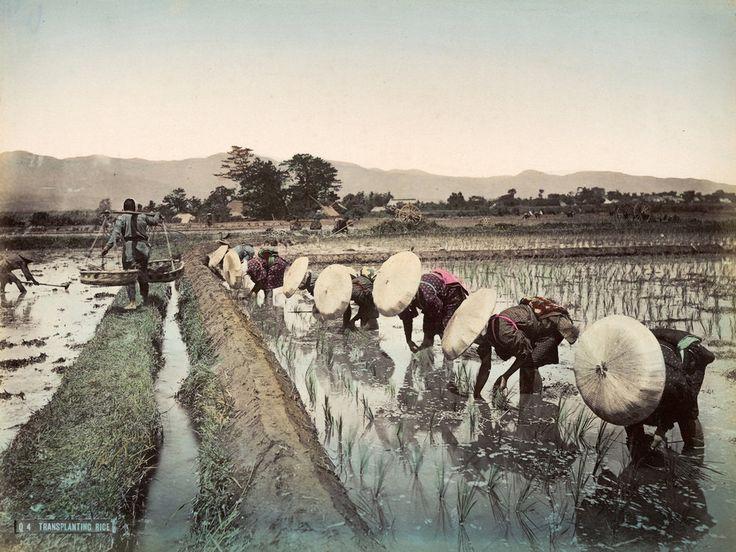 Rizsültetés 1870-ben