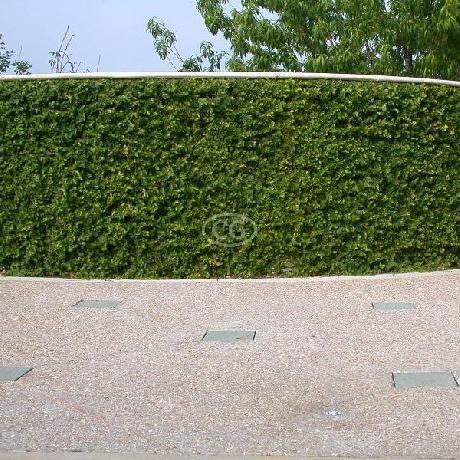 Ficus Pumila (AKA Ficus Repens, Creeping Fig, Fig Vine, Fig Ivy, Climbing Fig, Creeping Rubber Plant, Creeping Ficus) - for fence?