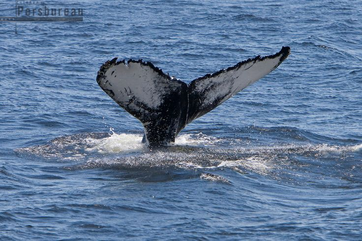 Canada. Tadoussac. Whale watching.