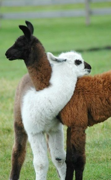 I LOVE llamas, and guanacos, and alpacas... And...