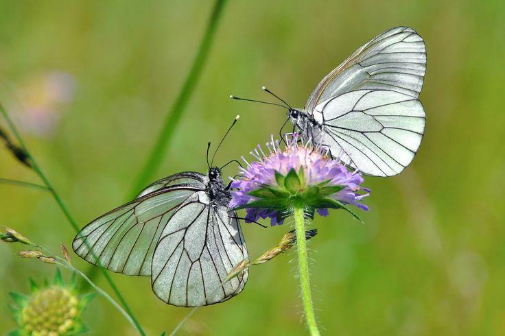 Фото: Butterflies boyaryshnitsy #butterfly #summer #macro Full format photo You…