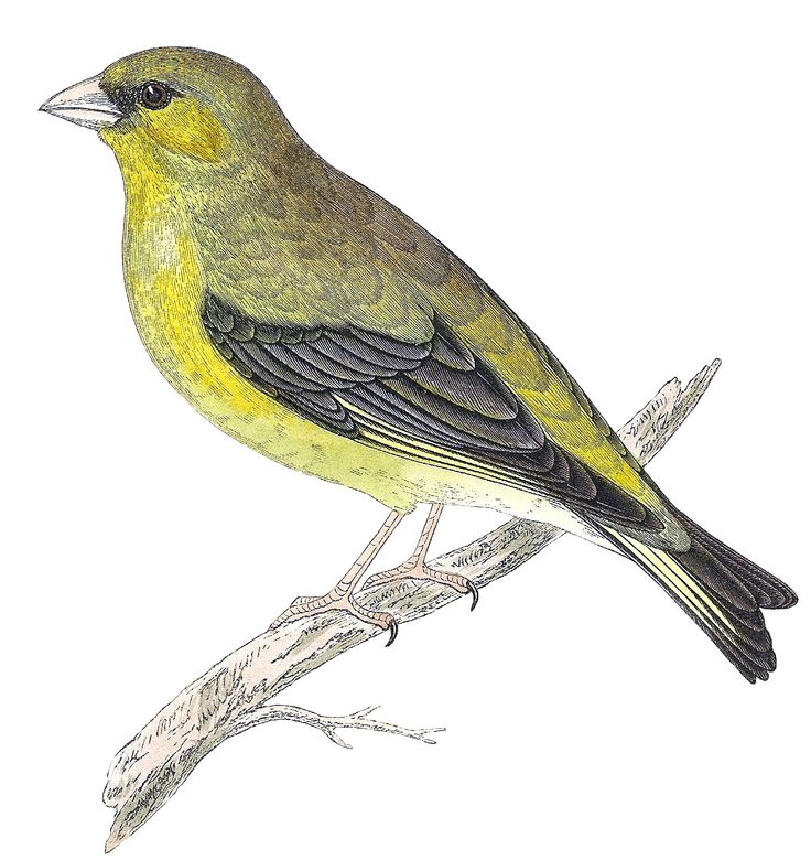 free printable 2 lovely bird prints greenfinch by morris landofnodstudio - Printable Bird Pictures 2