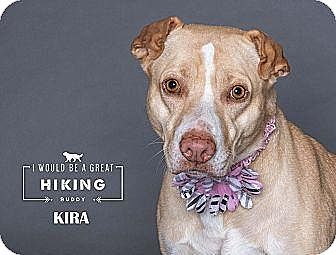 Jefferson City, MO - Labrador Retriever/American Staffordshire Terrier Mix. Meet Kira, a dog for adoption. http://www.adoptapet.com/pet/17753516-jefferson-city-missouri-labrador-retriever-mix