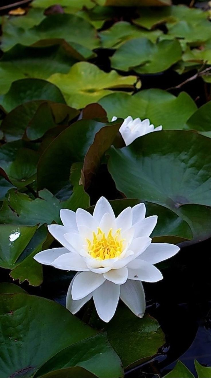 1546 best ltus flowers water lilies images on pinterest lotus lily pads with blooms izmirmasajfo Images