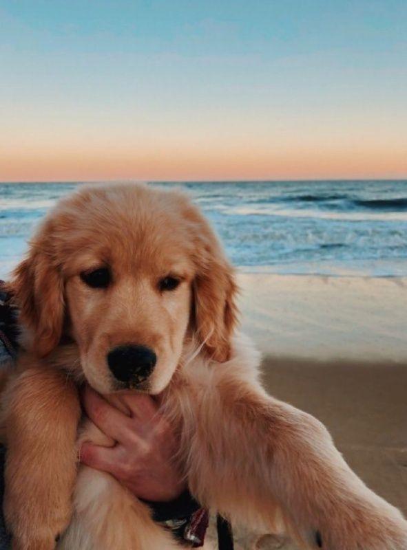 Vsco Alexia0824 Images Puppies Dogs Golden Retriever