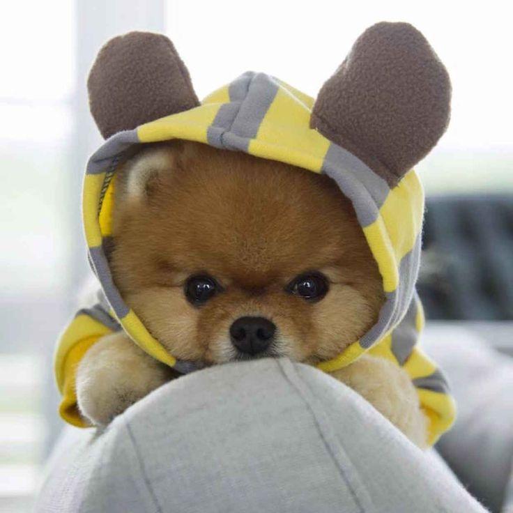 Jiff the Pomeranian ist mit Leichtigkeit das bestgekleidete Model auf Instagram – BlazePress   – Aww