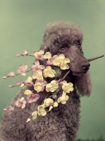 Fancy schmancy Poodle -- love the colors / composition of this photo!