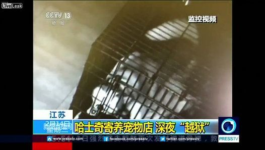 China's state broadcaster CCTV released a surveillance video from a pet shop on Tuesday (February 14) showing a Siberian Husky escaping from its cage and setting other two dogs free in eastern Jiangsu province. CCTV said the dog opened the cage door with its tongue and teeth, then walked towards the entrance of the pet shop, trying to get out by pushing the door with its paws and tearing the door frame