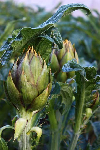 """I carciofi: un vero toccasana per la salute Che la verdura faccia bene all'organismo ormai è risaputo. Ma le proprietà contenute nei carciofi sono tra le più importanti per l'uomo. Essi aiutano infatti il corpo contribuendo alla sua disintossicazione e all'eliminazione del colesterolo """"cattivo""""."""