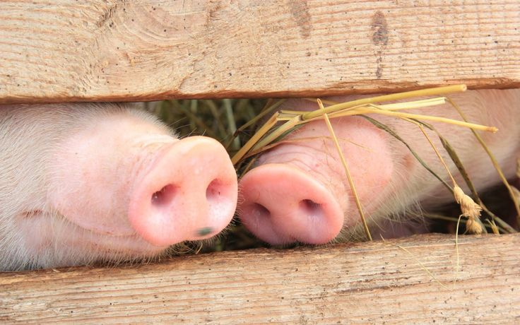 Pig HD Wallpapers and Backgrounds (4)  http://www.urdunewtrend.com/hd-wallpapers/animal/pig/pig-hd-wallpapers-and-backgrounds-4/ Pig 10] 10K 12 rabi ul awal 12 Rabi ul Awal HD Wallpapers 12 Rabi ul Awwal Celebration 3D 12 Rabi ul Awwal Images Pictures HD Wallpapers 12 Rabi ul Awwal Pictures HD Wallpapers 12 Rabi ul Awwal Wallpapers Images HD Pictures 19201080 12 Rabi ul Awwal Desktop HD Backgrounds. One HD Wallpapers You Provided Best Collection Of Images 22 30] 38402000 38402400 Wallpapers…