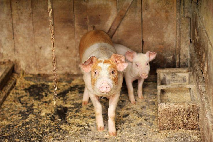 cerdo, cochino, lechón, cría, granja, 1706110828