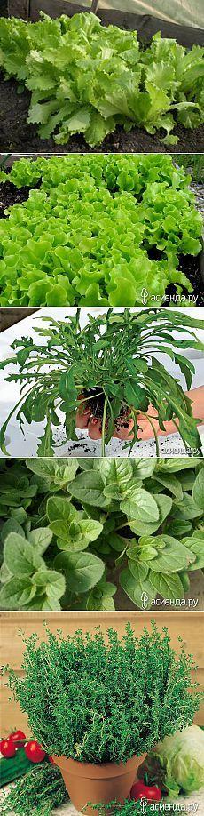 Секреты домашнего огорода. Часть 3 - зелень дома, зелень на подоконнике, домашний огород, салат, базилик, орегано
