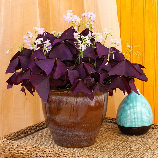 Display these beautiful flowering plants indoors for a touch of nature in any room in your home. African violets, hibiscus, lilies, jasmine, and more add pops of color to your decor and suit any decorating style.