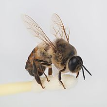Laline Paull The Bees Drone (bee) - Male bee